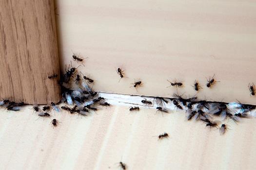 Consigue eliminar las hormigas para siempre