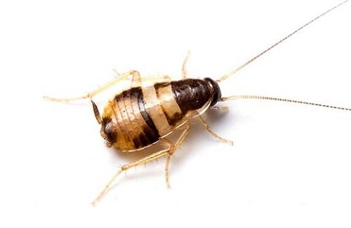 Cucaracha con banda marron