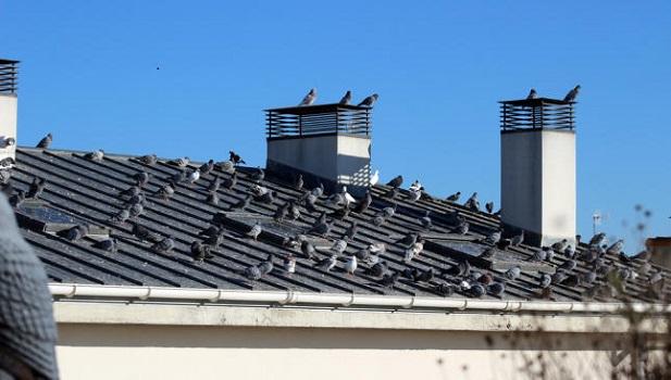 Descubre cómo espantar palomas