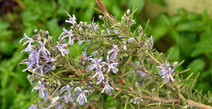 Plantas aromáticas: un ahuyentador de avispas natural