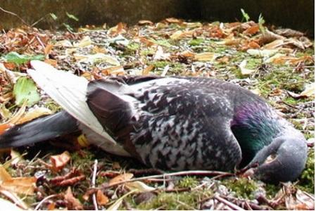 Matar palomas está prohibido por ley