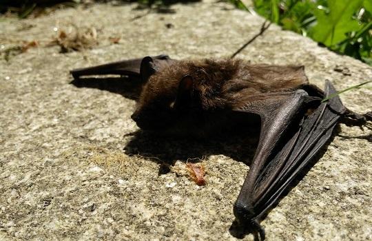No trates de matar murciélagos, solo ahuyéntalos