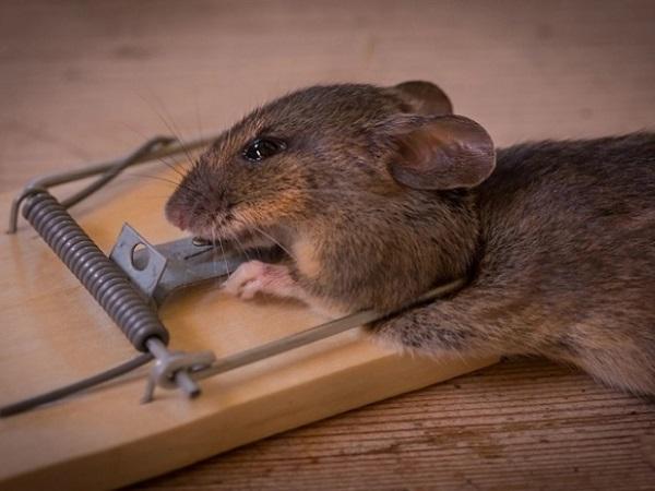 Cepos para ratones trampas de impacto