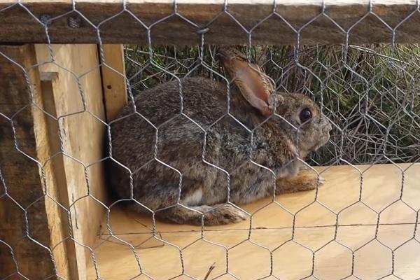 Trampa para conejo