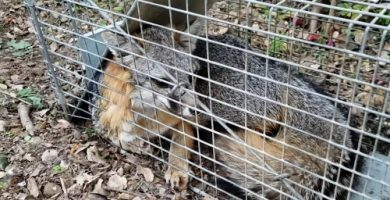 Trampas para cazar zorros