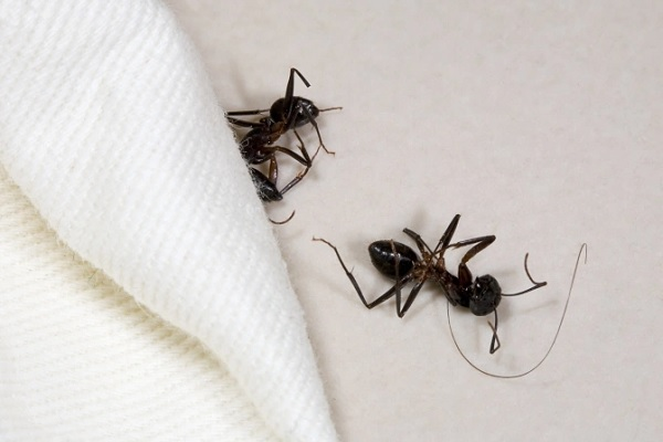 Trampas para hormigas