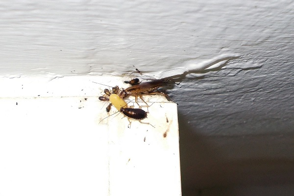 Trampas para las cucarachas