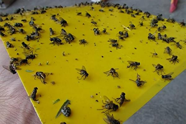 Trampas para moscas adhesivas